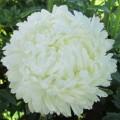 Астра Королевский размер Белая
