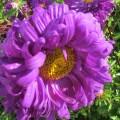Астра Фиолетовый букет