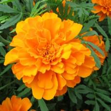Бархатцы отклоненные махровые Петит оранжевые