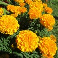 Бархатцы прямостоячие  Золотисто-оранжевые