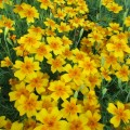 Бархатцы тонколистные Золотой самоцвет