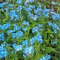 Незабудка садовая Голубая