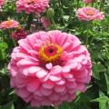 Цинния георгиноцветковая Супер Йога Роуз