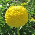 Цинния Желтый лиллипут