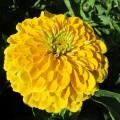 Цинния георгиноцветковая  Канарейка