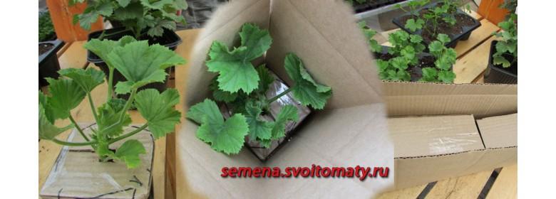 Укорененные черенки пеларгоний (гераней)