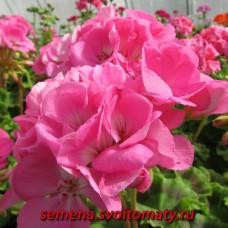 Пеларгония зональная Candy Rose
