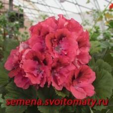 Пеларгония королевская Femke