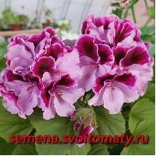 Пеларгония королевская Alexia