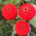 Цинния  Красный лиллипут