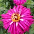 Цинния кактусовидная Фуксия
