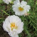Портулак крупноцветковый Солнечная страна Белый