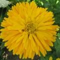 Цинния кактусовидная Бог солнца