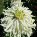 Цинния кактусовидная Снежный человек