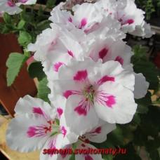 Пеларгония королевская Jasmin