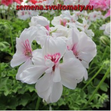 Пеларгония плющелистная Blanche Roche