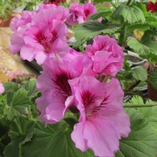 Пеларгония королевская Lavendel