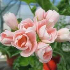 Зональная тюльпановидная пеларгония Emma fran Bengtsbo