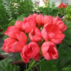 Зональная тюльпановидная пеларгония Patricia Andrea