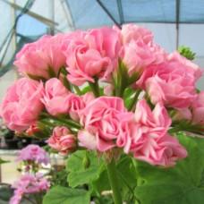 Зональная Розебудная пеларгония  - Swanland Pink (A.P.R.)