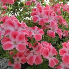 Королевская пеларгония Candy Flowers Peach Cloud