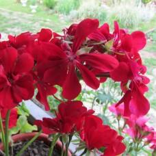 Пеларгония плющелистная Big Red