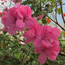 Душистая пеларгония розовая Pelargonium graveolens