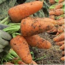 Морковь — «Крепыш»